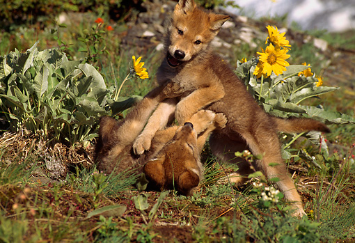 WOV 09 TL0007 01 © Kimball Stock Two Gray Wolf Pups Playing