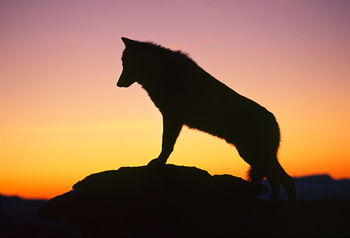 WOV 09 TL0010 01 © Kimball Stock Silhouette Profile Shot Of Gray Wolf On Top Of Mountain At Sunset