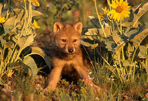 WOV 09 TL0011 01 © Kimball Stock Portrait Of Gray Wolf Pup By Wildflowers