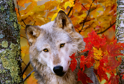 WOV 09 TL0014 01 © Kimball Stock Portrait Head Shot Of Gray Wolf By Autumn Leaves