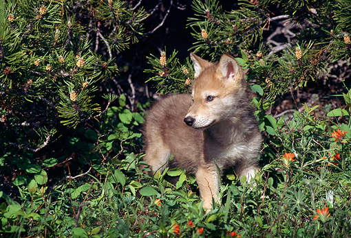 WOV 09 TL0017 01 © Kimball Stock Gray Wolf Pup Exploring Under Pine Tree