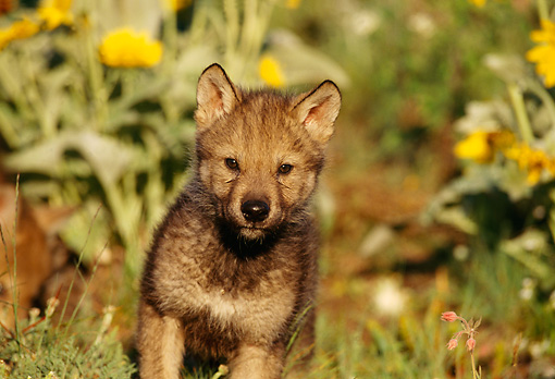 WOV 09 TL0020 01 © Kimball Stock Gray Wolf Pup Standing Facing Camera Yellow Flowers Grass