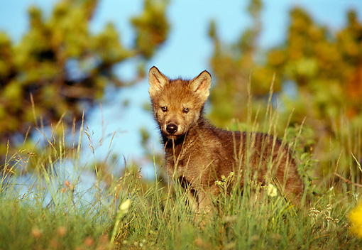 WOV 09 TL0021 01 © Kimball Stock Gray Wolf Pup Standing On Hilltop Grass Trees Blue Sky