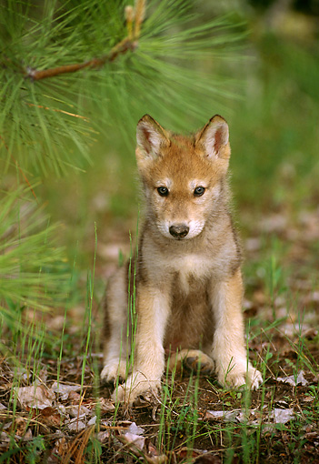 WOV 09 TL0025 01 © Kimball Stock Portrait Of Gray Wolf Pup Sitting Under Pine Bough