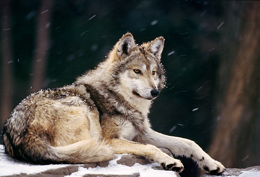 WOV 09 TL0027 01 © Kimball Stock Mexican Gray Wolf Laying On Snow