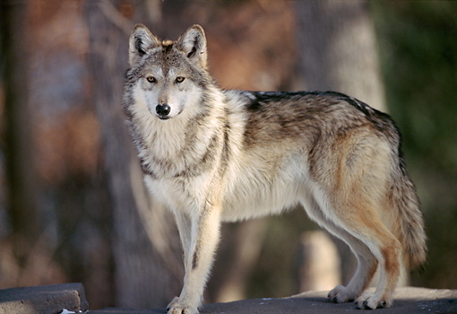 WOV 09 TL0028 01 © Kimball Stock Mexican Gray Wolf Standing On Rock