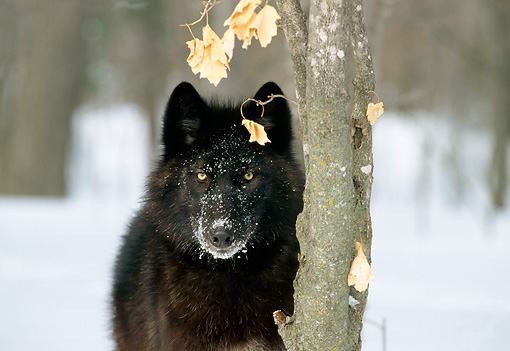 WOV 09 TL0030 01 © Kimball Stock Portrait Head Shot Of Black Wolf Standing On Snow Next To Tree Trunk In Woods