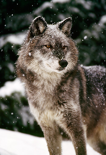 WOV 09 TL0034 01 © Kimball Stock Portrait Of Gray Wolf Standing In Snowstorm