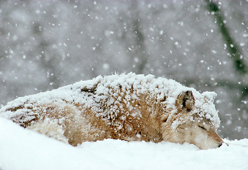 WOV 09 TL0036 01 © Kimball Stock Gray Wolf Sleeping In Woods During Snowstorm