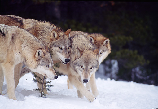 WOV 09 TL0038 01 © Kimball Stock Gray Wolf Pack Huddling On Snow At Edge Of Woods