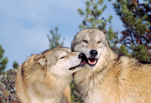 WOV 09 TL0039 01 © Kimball Stock Gray Wolf Licking Other Wolf Blue Sky Pine Trees