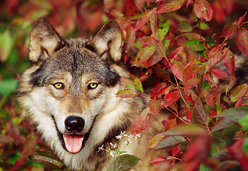 WOV 09 TL0040 01 © Kimball Stock Head Shot Of Gray Wolf Facing Camera Among Red Autumn Foliage