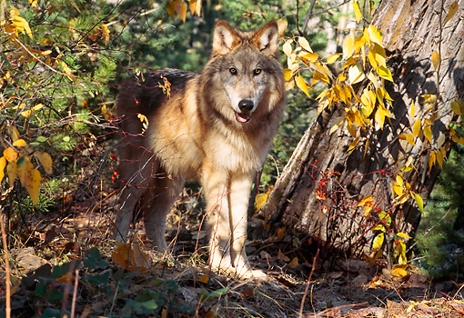 WOV 09 TL0043 01 © Kimball Stock Gray Wolf Standing At Base Of Tree In Autumn