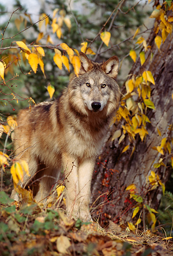 WOV 09 TL0044 01 © Kimball Stock Portrait Of Gray Wolf Standing At Base Of Tree In Autumn Yellow Leaves