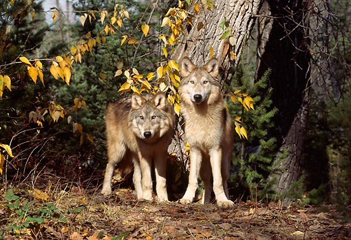 WOV 09 TL0045 01 © Kimball Stock Two Gray Wolves Standing At Base Of Tree In Autumn