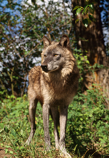 WOV 09 TL0046 01 © Kimball Stock Portrait Of Gray Wolf Standing In Clearing In Woods