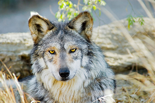 WOV 09 TL0047 01 © Kimball Stock Head On Head Shot Of Mexican Gray Wolf Sitting By Rocks