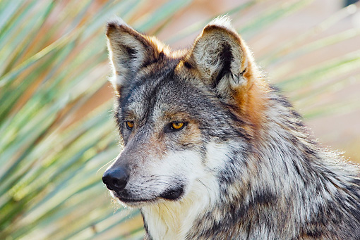 WOV 09 TL0048 01 © Kimball Stock Head Shot Of Mexican Gray Wolf Standing By Foliage