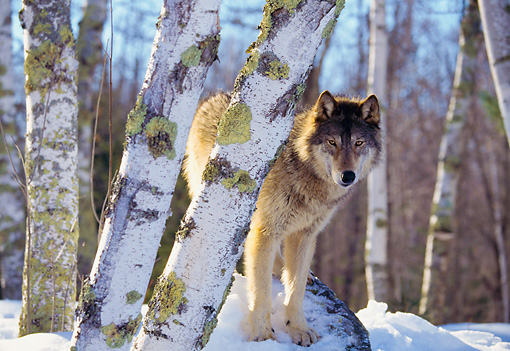 WOV 11 RK0005 03 © Kimball Stock Wolf Standing On Snow Covered Rock By Trees