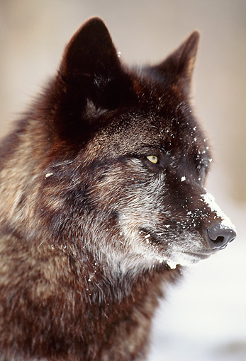 WOV 11 DB0002 01 © Kimball Stock Head Shot Of Black Wolf In Snow