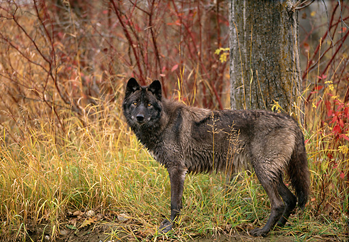 Black wolf standing on grass at edge of woods in autumn kimballstock kimballstockwov 11 db0007 01preview sciox Images