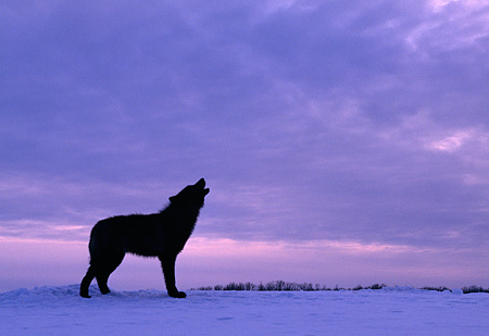 WOV 11 RK0015 18 © Kimball Stock Profile Of Black Wolf Howling On Snow Gray Clouds