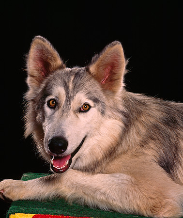 WOV 11 RK0045 11 © Kimball Stock Head Shot Of Hybrid Wolf Black Background