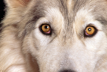 WOV 11 RK0046 21 © Kimball Stock Close Up Of Eyes Of Hybrid Wolf Facing Camera