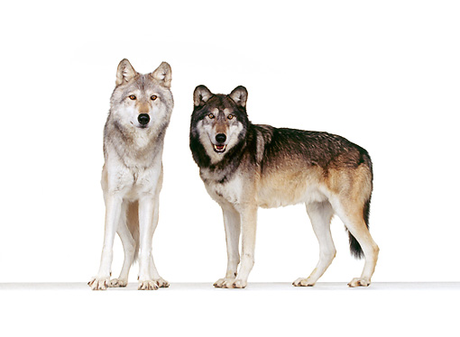 WOV 11 RK0057 22 © Kimball Stock Wolves Standing On White Seamless