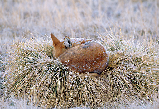WOV 19 MH0004 01 © Kimball Stock Ethiopian Wolf Pup Curled Up On Grass Nest