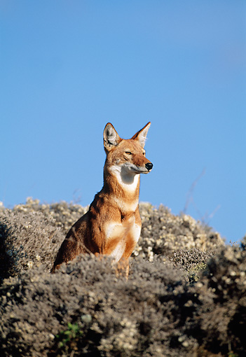 WOV 19 MH0008 01 © Kimball Stock Ethiopian Wolf Sitting Alert Against Blue Sky