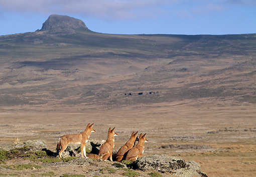 WOV 19 MH0009 01 © Kimball Stock Back View Of Pack Of Ethiopian Wolves Sitting On Plains