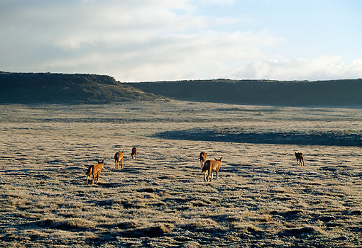 WOV 19 MH0010 01 © Kimball Stock Back View Of Pack Of Ethiopian Wolves Walking On Plains
