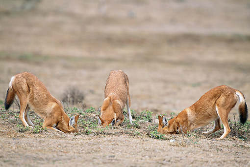 WOV 19 MH0011 01 © Kimball Stock Three Ethiopian Wolves Digging Holes In Dirt