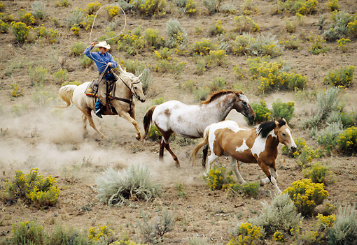 WRG 01 RK0010 06 © Kimball Stock Wrangler Lassoing Two Wild Horses In Pasture