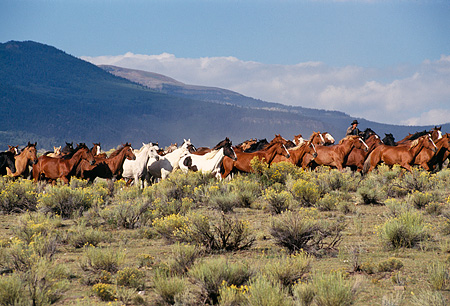 WRG 01 RK0146 01 © Kimball Stock Wranglers And Horses Galloping On Pasture
