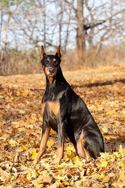 doberman pinscher - Animal Stock Photos - Kimballstock - photo#37