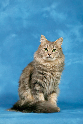 turkish angora - Animal Stock Photos - Kimballstock
