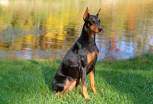 doberman pinscher - Animal Stock Photos - Kimballstock - photo#30