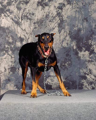 growling - Animal Stock Photos - Kimballstock - photo#12